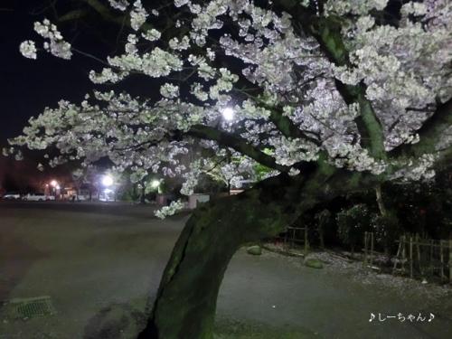 荒川公園の桜_02