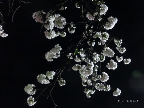 荒川公園の桜_03