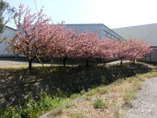 JA士幌町 熊谷事務所の八重桜_04