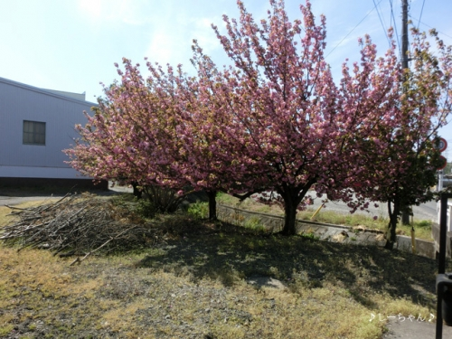 JA士幌町 熊谷事務所の八重桜_03
