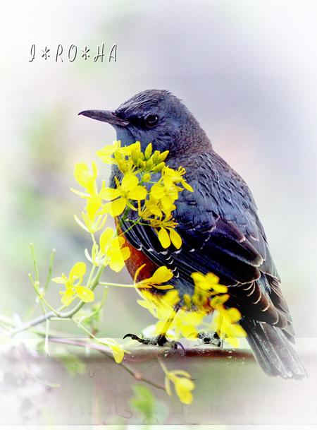 イソヒヨ花