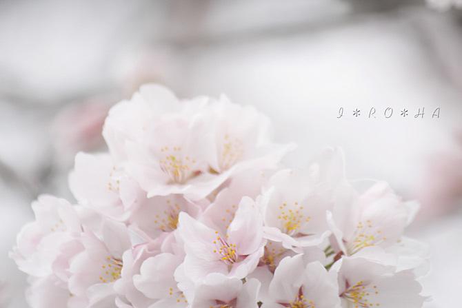 ソメイヨシノ7232