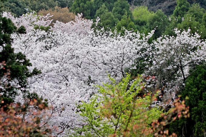 山の桜s9119