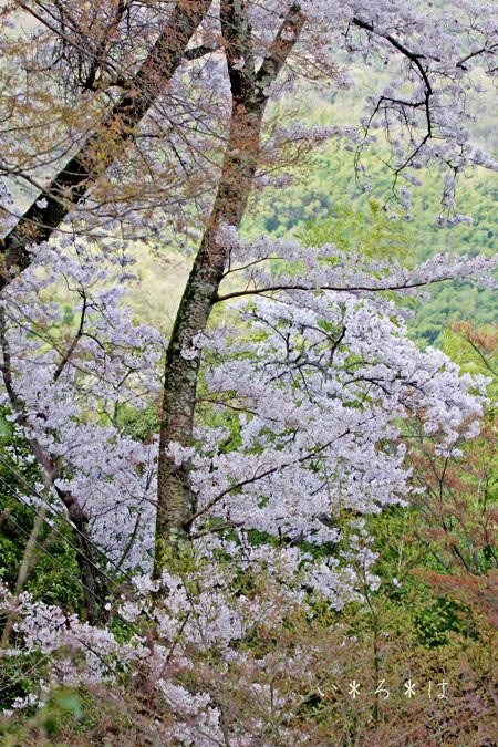 山の桜9128