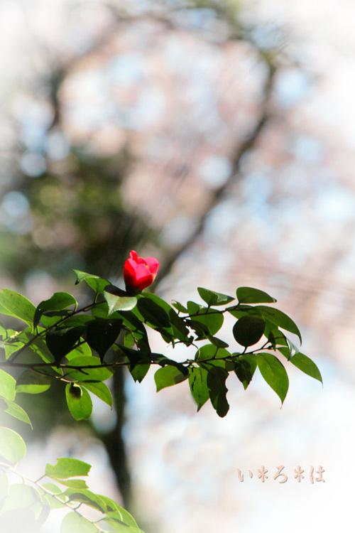 椿桜0477