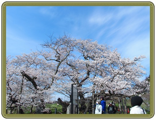 石部桜ー1