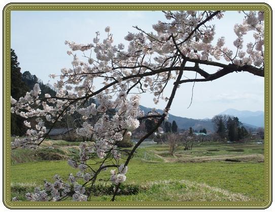 石部桜ー2