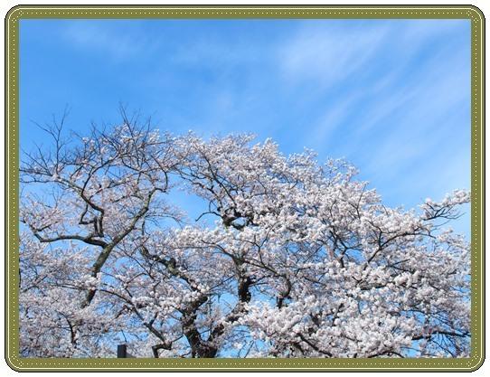 石部桜ー3