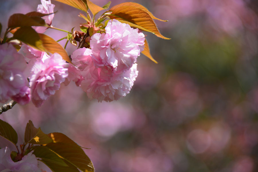 桜 一葉(イチヨウ)