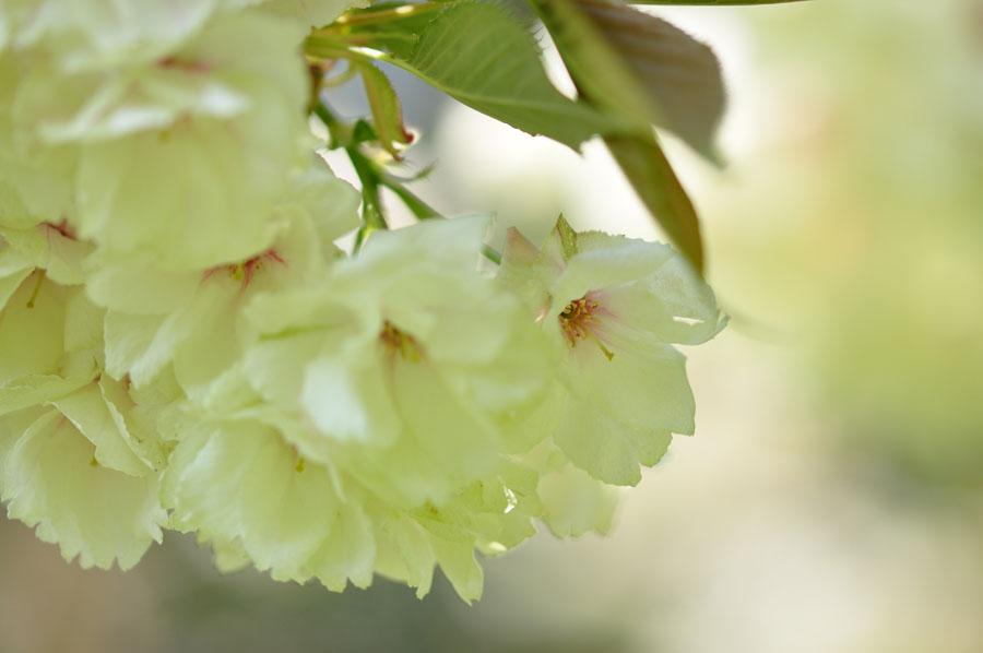 桜 ウコン