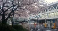 千葉市議会前の桜
