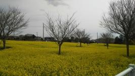 3月18日 菜の花畑