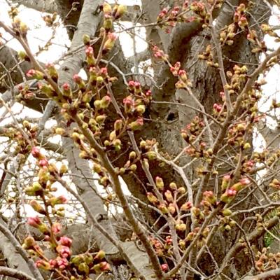 場内コース脇の桜の様子