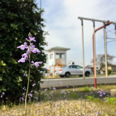 松葉海蘭(マツバウンラン)の花