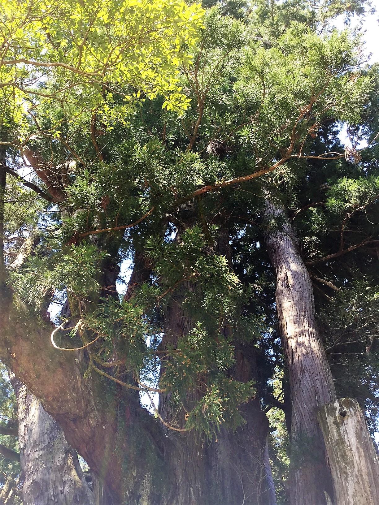 杉の大杉 2