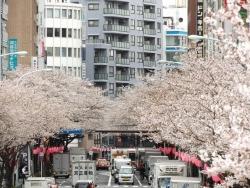 20170407中野駅前桜3
