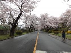 20170408ICU桜1