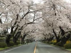 20170408ICU桜2