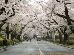 20170408ICU桜4