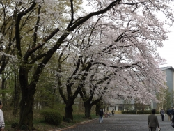 20170408ICU桜5