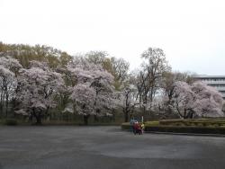 20170408ICU桜7
