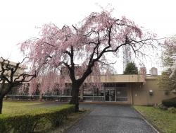 20170409ICU高校桜1