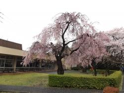 20170409ICU高校桜2