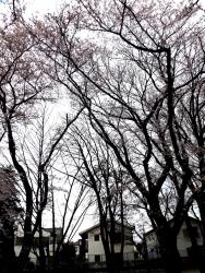 20170409ICU高校桜6