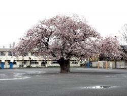 20170409三鷹第二小学校桜2
