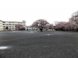 20170409三鷹第二小学校桜1