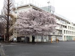 20170409三鷹第二小学校桜3