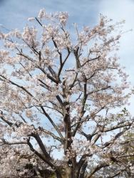20170412桜3