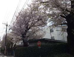20170412桜2