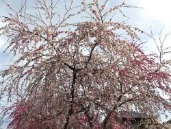 20170412桜6