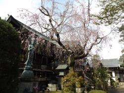 20170412桜4