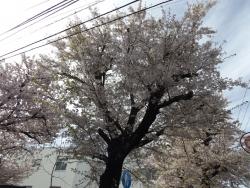 20170412桜1