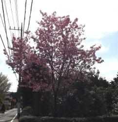 20170412桜7