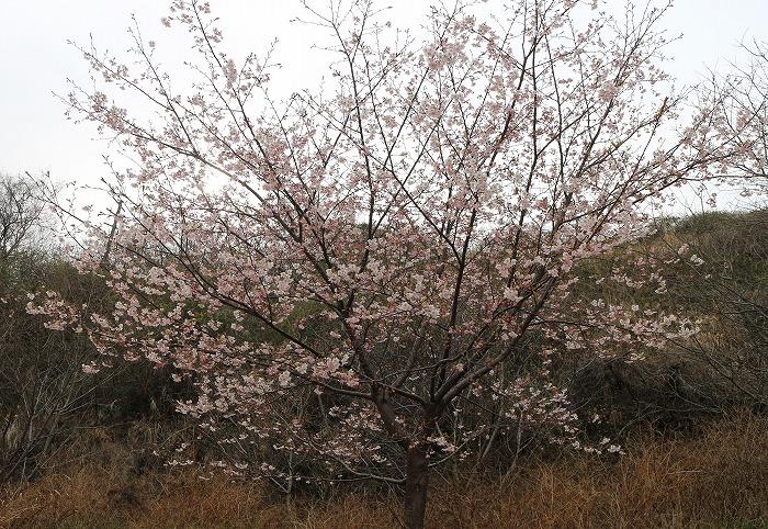爺神山の桜が満開に・・・ 29.3.1