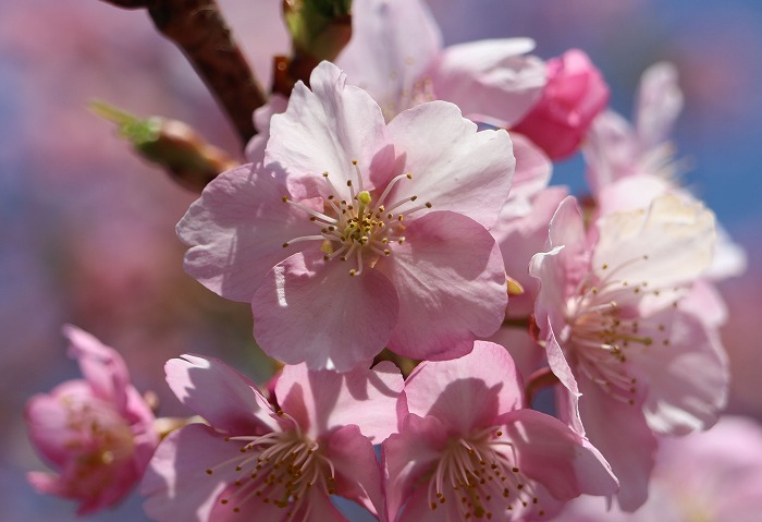 河津桜と青空 29.3.574