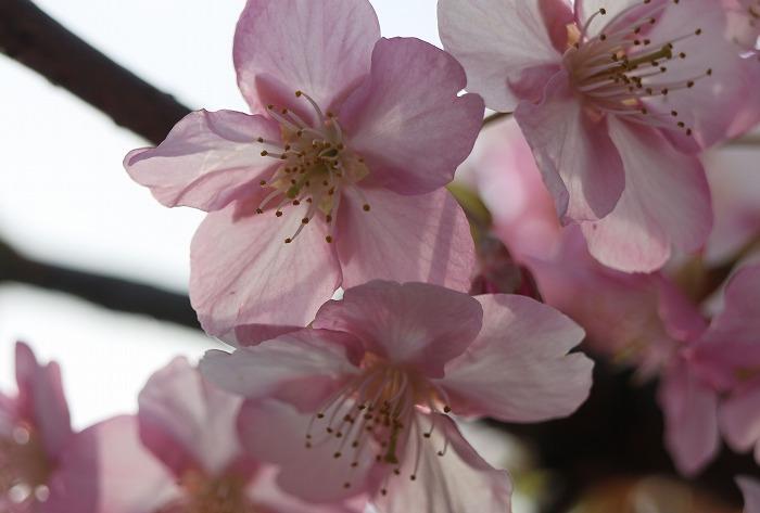 河津桜花びらに太陽の光 29.3.4