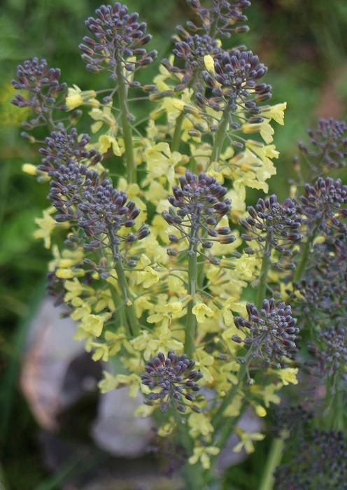 ブロッコリーの花 29.3.6