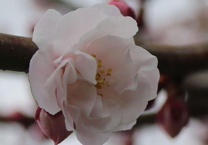 紅梅 垂れ梅の木の横に 29.3.9