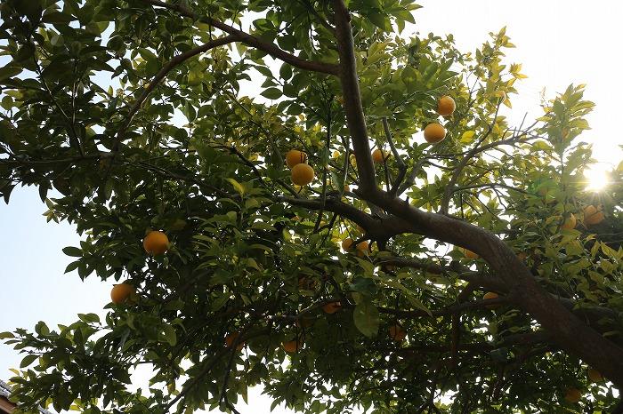 大きい蜜柑ちぎり 29.3.7