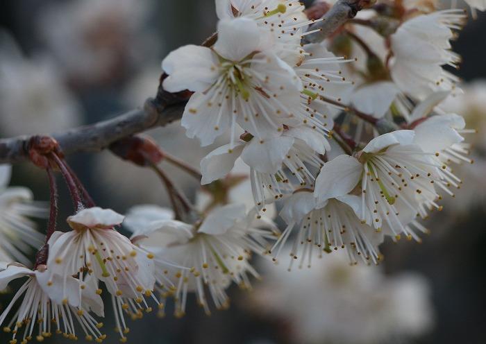 さくらんぼの花一杯 29.3.16