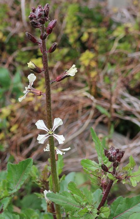 ウマバにルッコラの花が 29.3.6