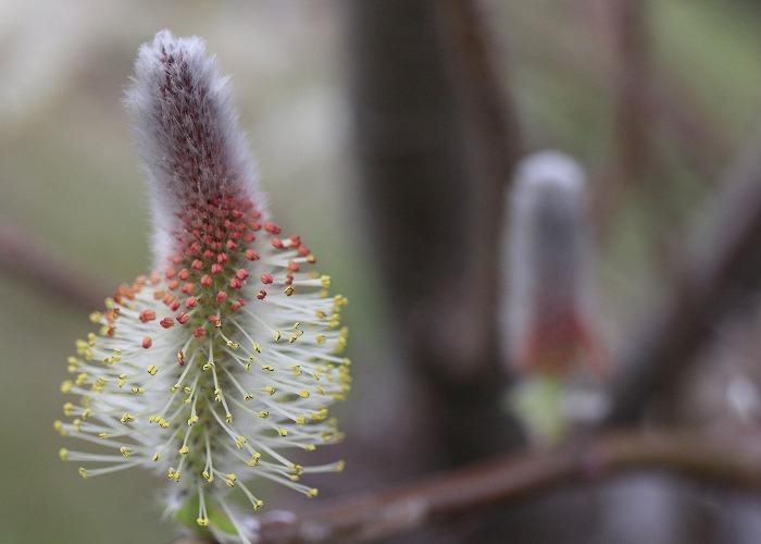 ネコヤナギ 下から咲く 29 3 23