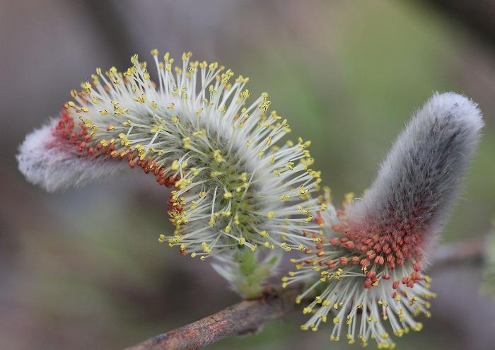猫柳 花は下から咲く 29 3 23