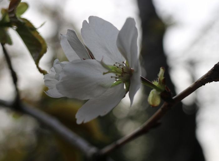 寒咲大島 枝に花 29.3.24
