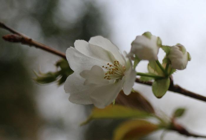 寒咲大島桜 蕾と花と 29.3.24