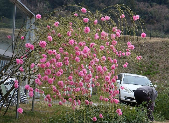 しだれ桜もいっぱい 29.3.25